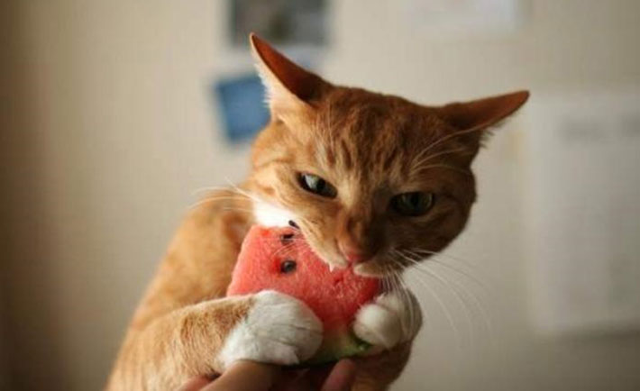optimized-cat-watermelon