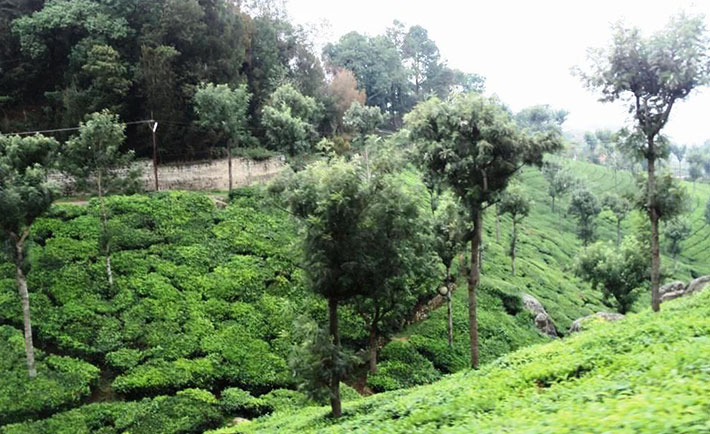 optimized-ooty-queen-of-hill-station-tea-gardens