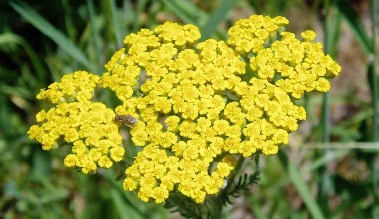 optimized-flowers-Achillea-Biebersteinii