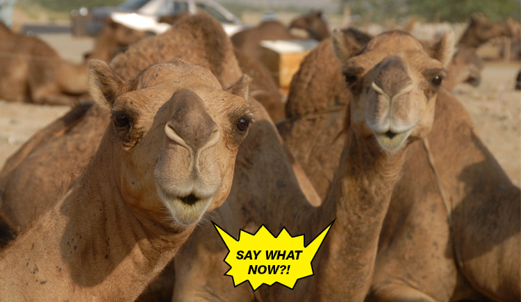optimized-mind-blowing-facts-camels