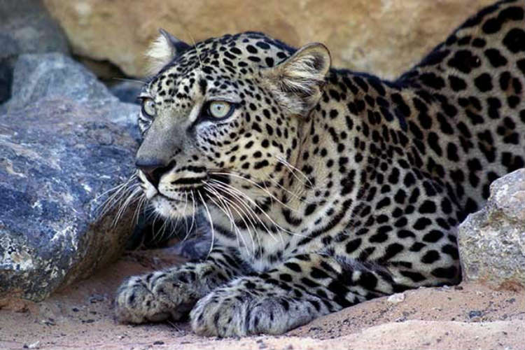 Arabian-Leopard Image courtesy of YemeniLeopard