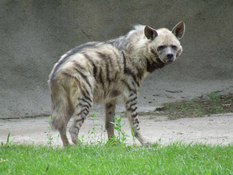 Striped-Hyena-Lebanon-National-Animal-1
