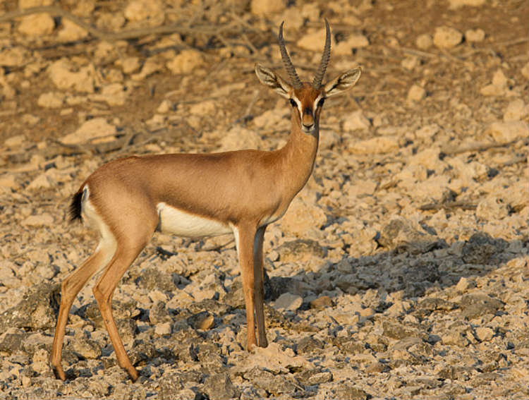 mountain-gazelle-male2