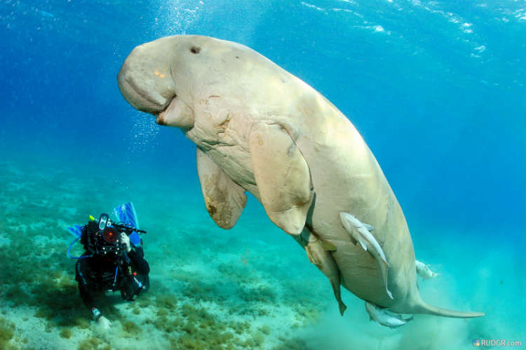 what-is-a-dugong-2