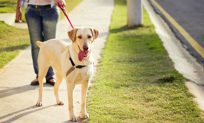 Keep your dog on a leash when you are out on walks