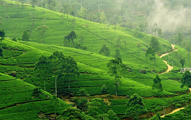 Tea-plantation-in-Nuwara-Eliya
