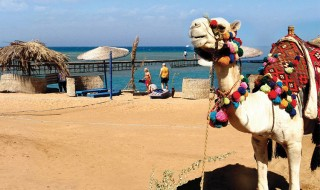 World___Egypt_Camel_on_the_beach_in_the_resort_of_El_Gouna__Egypt_066422_