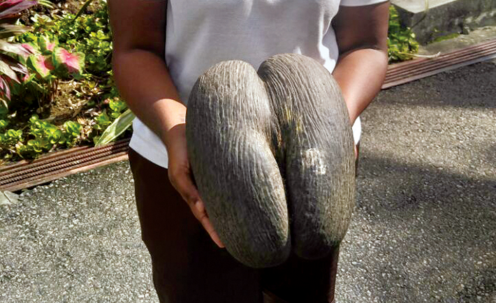 coco-damier-biggest-seed-in-the-world
