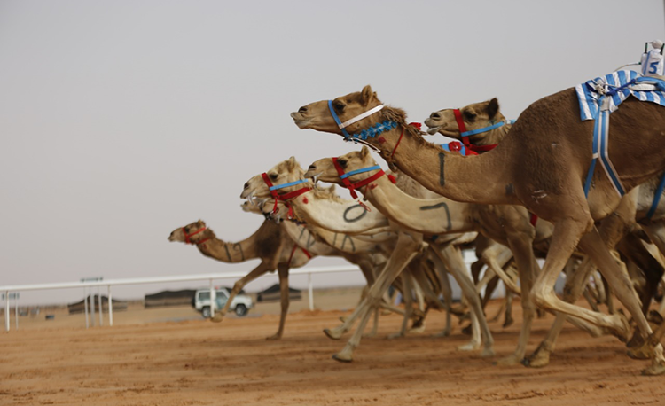 Female Saudi Camel Owner Off to the Races for First Time at