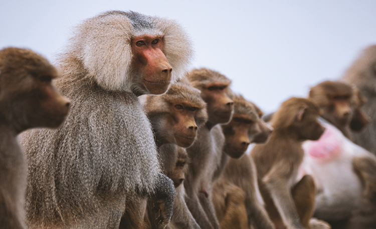 BABOONS AT THE ASIR NATIONAL PARK Sourced Photo